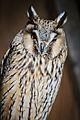 Owls @ Dragonheart, Enschede (9549489326).jpg