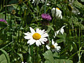 Ox-eye daisy and Knapweed - geograph.org.uk - 1334331.jpg