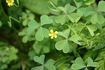Oxalis stricta flowers and foliage 001.JPG
