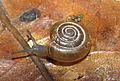 Oxychilus camelinus.jpg