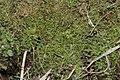 Oxyrrhynchium schleicheri (a, 144556-474601) 9122.JPG