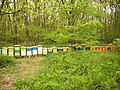Pčele na bagremu - panoramio (1).jpg