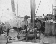 P98a Camels on the deck of the lighter.jpg