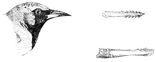 PSM V49 D359 Oriole and tongues of woodpecker and sapsucker.jpg