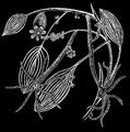 PSM V51 D533 Hydra vulgaris.png