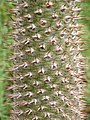 Pachypodium lamerei 2010-06-20 01.jpg