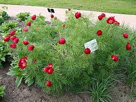 Пион. Paeonia tenuifolia Pioni ec452685cf37e