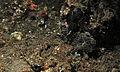 Painted Frogfish (Antennarius pictus) (8461379152).jpg