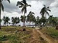 Palm trees near Mitsamiouli beach 1.jpg