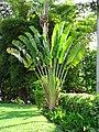 Palma del viajero (Ravenala madasgacariensis) (14099814517).jpg