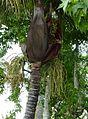 Palmiste noir P1090510.jpg