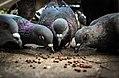 Palomas en el palomar Santa Fe 2.jpg