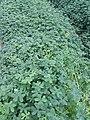 Pambetxo a l'horta de Rafalell 02.jpg