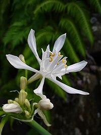 P. canariense