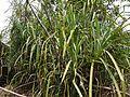 Pandanus furcatus (5660655449).jpg