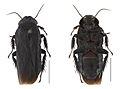 Panesthia guizhouensis male.jpg