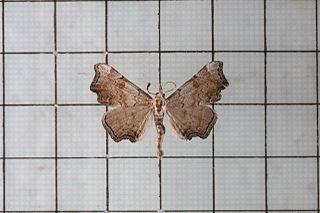 <i>Pangrapta</i> genus of insects