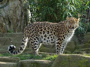 Amur leopard - An Amur leopard at Colchester Zoo, England.