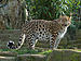 Panthera pardus orientalis Colchester Zoo (1).jpg