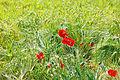 Papaver rhoeas - roter Klatschmohn im Weizenfeld.jpg