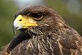 Parabuteo unicinctus -falconry show-8a (8).jpg