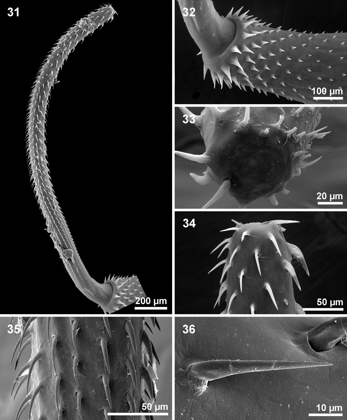 archiacanthocephala