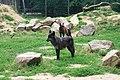ParcAuxois-CanisLupusOccidentalis-1.jpg