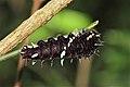 Parides sp. (Papilionidae) caterpillar (23984354260).jpg