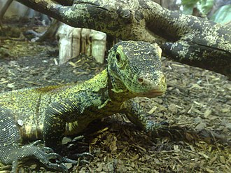 Parthenogenesis - A baby Komodo dragon, Varanus komodoensis, produced through parthenogenesis. Komodo dragons are an example of a species which can produce offspring both through sexual reproduction and parthenogenesis.