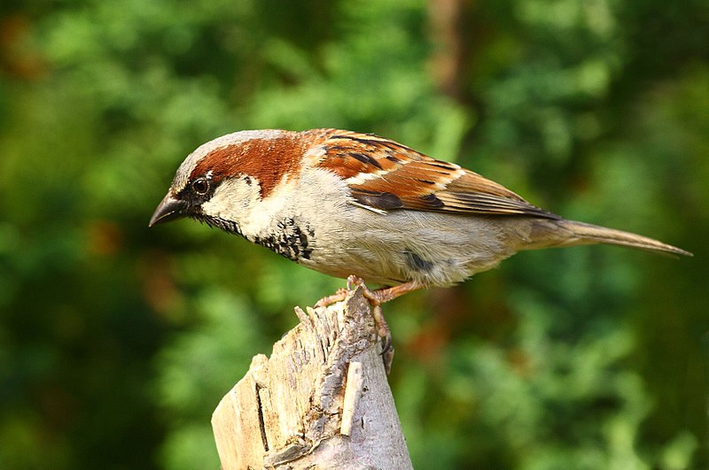 File:Passer domesticus -England -male.jpg