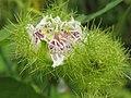 Passiflora foetida at Peravoor (3).jpg