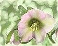 Pastel Lenten Rose artistic (8524863449).jpg