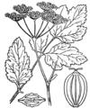 Pastinaca sativa subsp. urens illustration (01).png