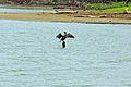 Pato pescando en burro negro.jpg