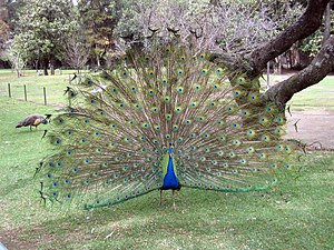 300px-Peacock.jpg