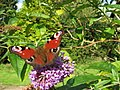 Peacock Butterfly (Inachis io) - geograph.org.uk - 516987.jpg