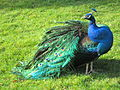 Peacocks at Royal Roads University, British Columbia (2012) - 4.JPG