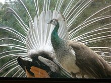 Peacock Seen From Behind Displaying To Attract Peahen In Foreground
