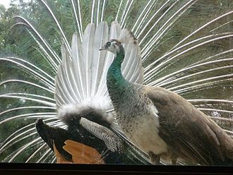 Peafowl - Peacock (seen from behind) displaying to attract peahen in foreground