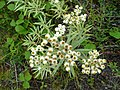 Pearly Everlasting, Anaphalis margaritacea - geograph.org.uk - 918239.jpg