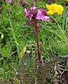 Pedicularis rostratocapitata RF.jpg