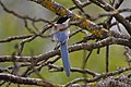 Pega azul ou Charneco ( Cyanopica Cooki ) (49871055817).jpg
