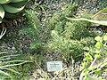 Pelargonium bowkeri - Botanischer Garten München-Nymphenburg - DSC08149.JPG