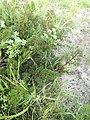Pelargonium triste - Kenwyn Nature Park - Cape Town g.jpg