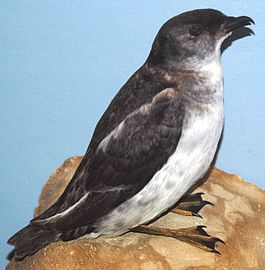 Pelecanoides georgicus (South Georgian diving-petrel) (8365384976).jpg