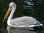 Pelecanus crispus at Beijing Zoo crop.JPG