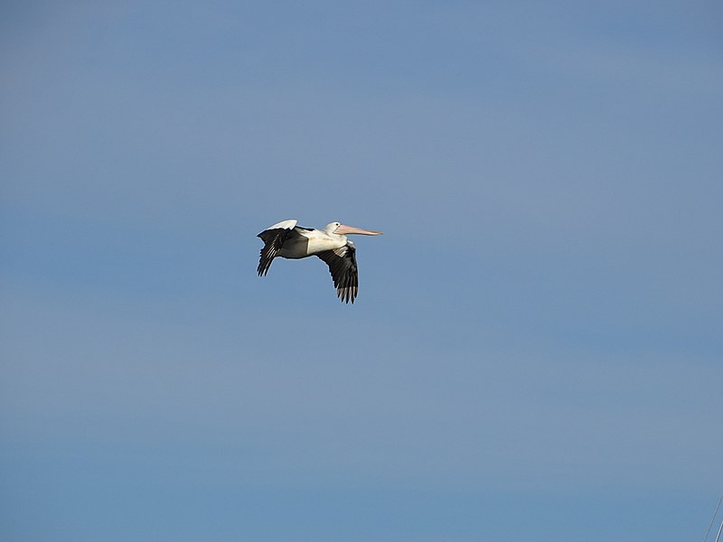 File:Pelican flying (35944341983).jpg