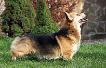 Pembroke Welsh Corgi Wikipedia