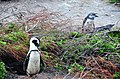 Penguin colony in Hermanus 11.jpg
