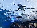 Penguin fly in the sky Sunshine Aquarium 2.jpg